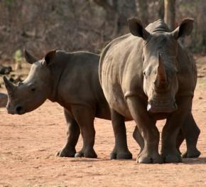 white rhino290x263website