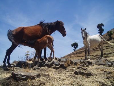 Kundudo feral horses (photo : Marco VIgano)
