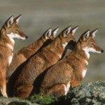 ethiopian-wolf