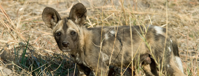 feature african-wild-dog