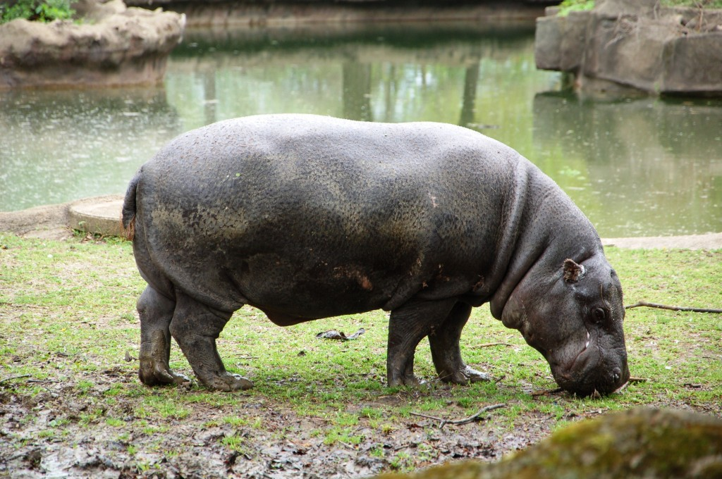 Obesa form Brookfield Zoo (Chicago, IL)