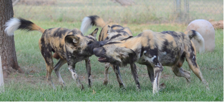 African-Wild-dogs-update-August-2020