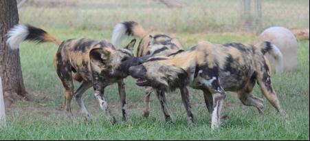 African-Wild-dogs-update-August-2020